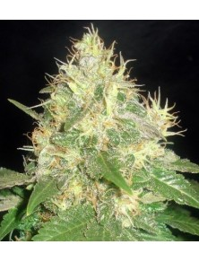 Northern Light Blue Auto (5 Semillas)