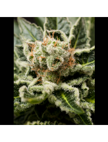 Shark Attack Dinafem Seeds