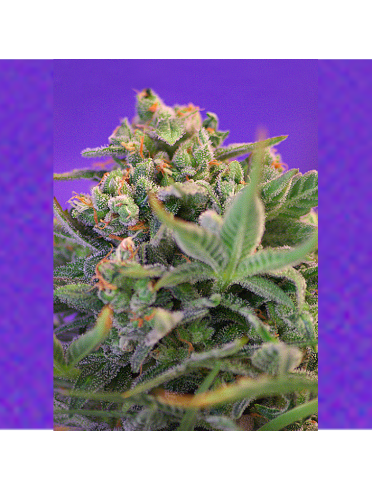 Sweet Cheese Fast Version F1 Sweet Seeds