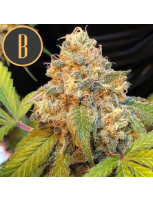 Chocolopez Blimburn Seeds Bank
