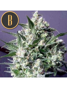 Dama Blanca Blimburn Seeds Bank