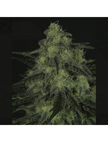 Black Valley Ripper Seeds