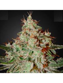 Lemon Skunk Green House Seed