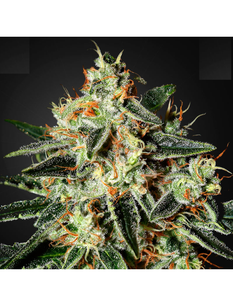 GH Cheese Green House Seed