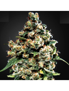 Jack Herer Green House Seed