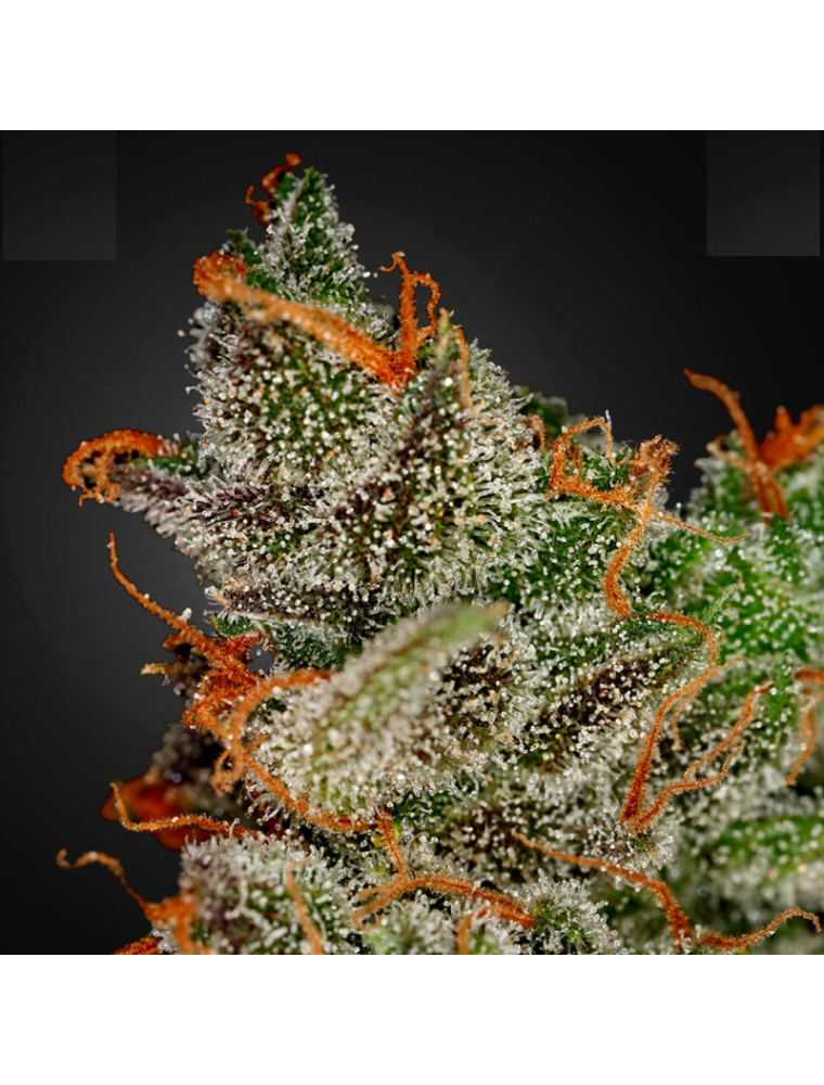 KingS Kush GH Green House Seed