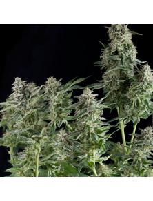 Northerm Lights Pyramid Seeds