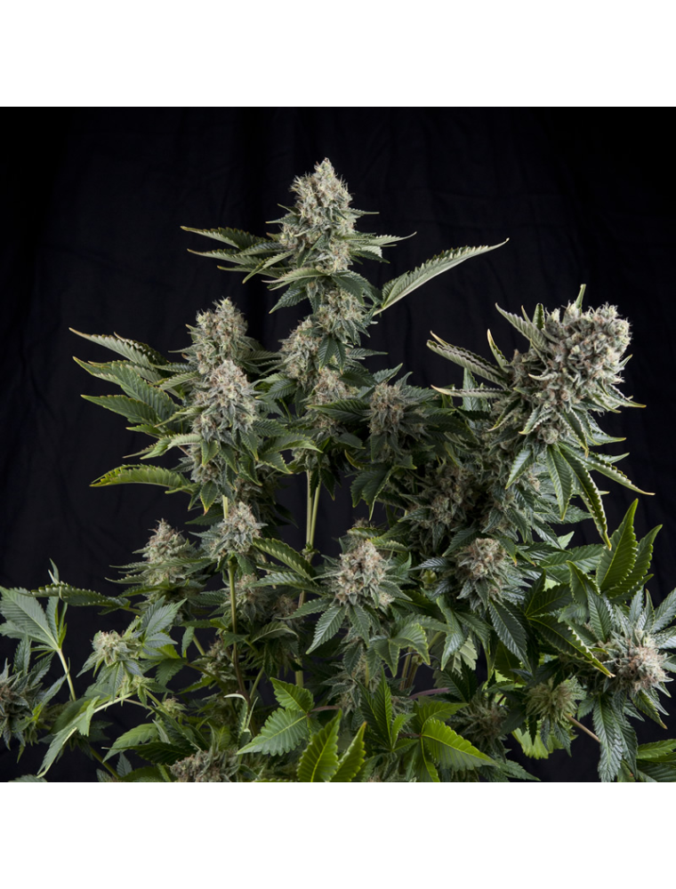 White Widow Pyramid Seeds