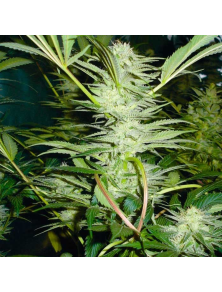 White Widow Medical Seeds