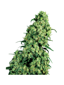 Skunk 1 White Label White Label Seed