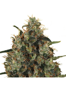 Medical Mass Royal Queen Seeds