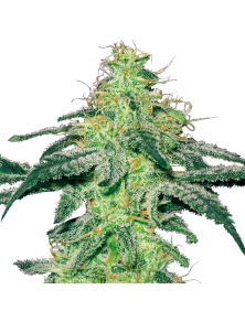 White Skunk White Label Seed