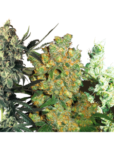 Feminized Mix White Label Seed