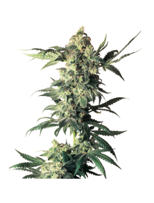Northern Lights White Label White Label Seed