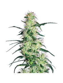 Purple Haze White Label White Label Seed