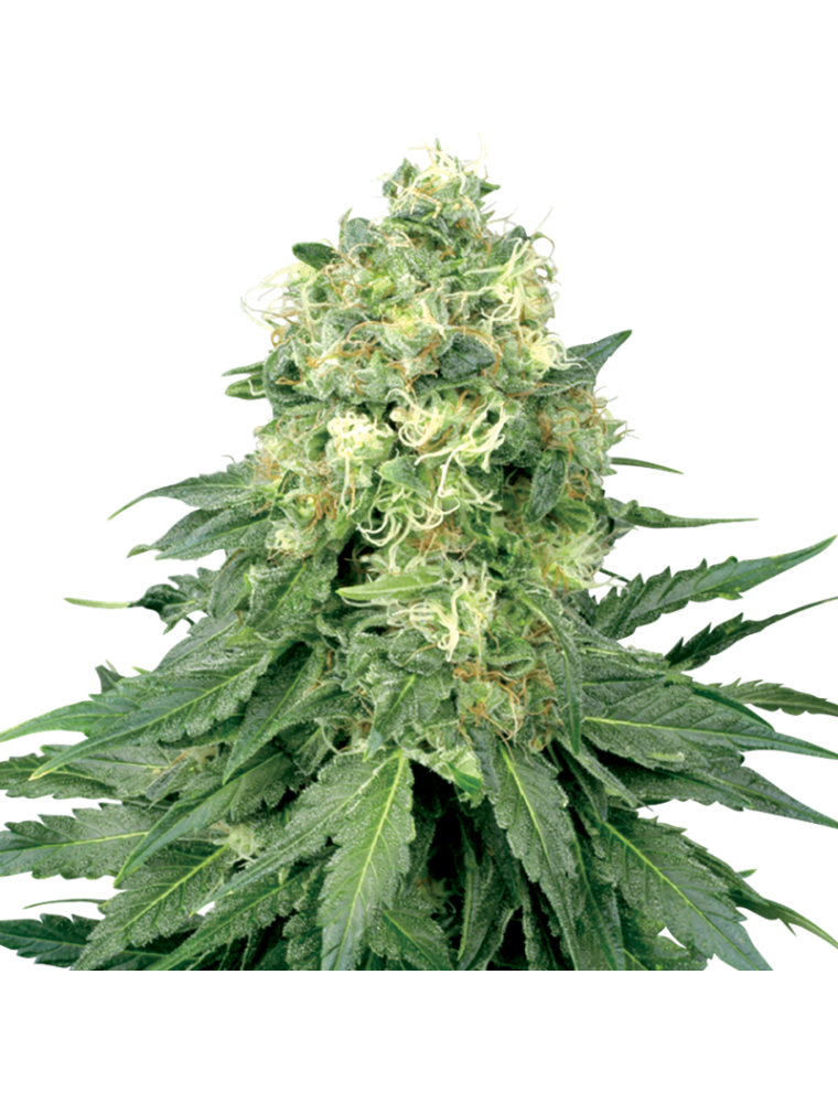 White Widow White Label Seed