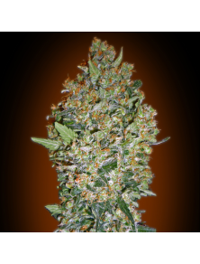Cheese Berry 00 Seeds Bank