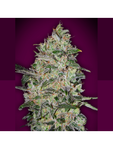 Bubble Gum Fast 00 Seeds Bank