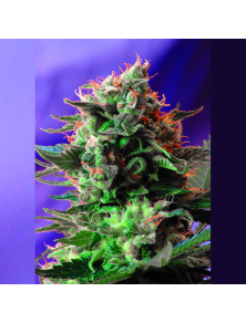 Jack 47 Fast Version F1 Sweet Seeds