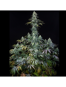 Early Amnesia CBD Dinafem Seeds