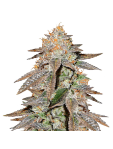 Brain Cake Ripper Seeds