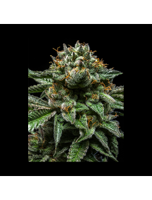 Chempie Ripper Seeds