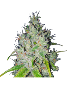 Super Lemon Haze CBD Green House Seed