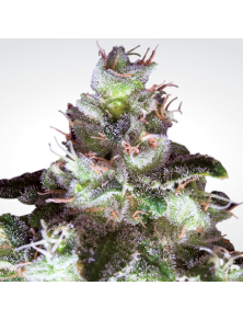 Original White Widow (IBL) Paradise Seeds