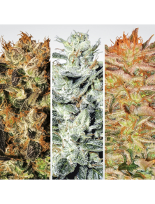 Indica Champions Pack Paradise Seeds
