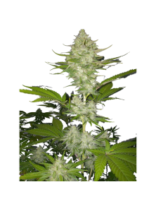 Candy Kush Express (Fast Flowering) Royal Queen Seeds