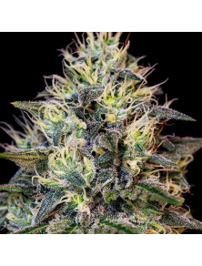 Cookies Gelato Royal Queen Seeds