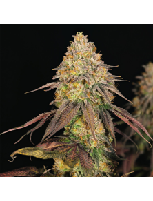 Legendary OG Punch Royal Queen Seeds