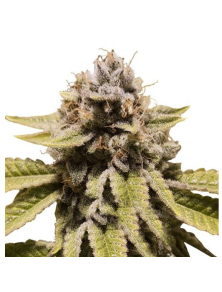 Triple G Royal Queen Seeds