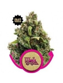 Royal Queen Candy Kush Express Fast (10 Semillas)