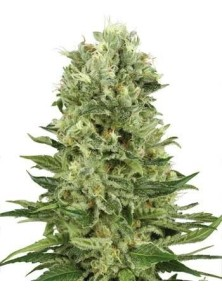 Sensi White Label Skunk Auto (5 Semillas)