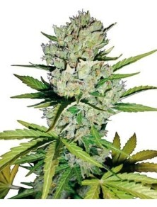 Sensi White Label Super Skunk Auto (5 Semillas)