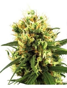 Sensi White Label White Haze Auto (10 Semillas)