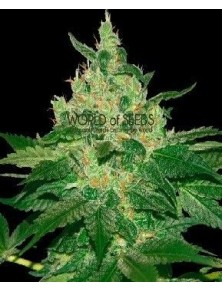 World Of Seeds Afgan Kush Reg (10 Semillas)