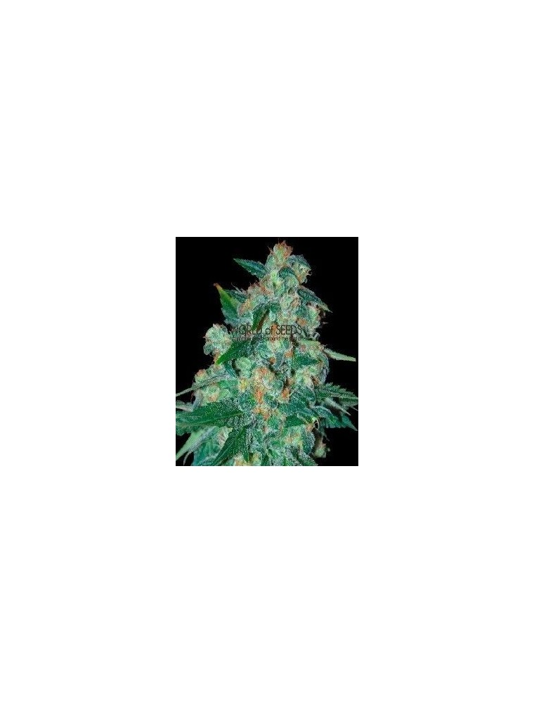 World Of Seeds Ketama Reg (10 Semillas)