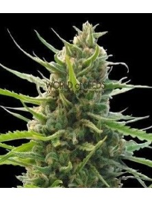 World Of Seeds Kilimanjaro Reg (10 Semillas)