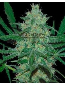 World Of Seeds Pakistan Valley Reg (10 Semillas)