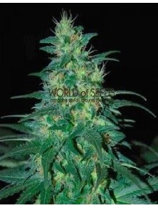 World Of Seeds South African Kwazulu Reg (10 Semillas)