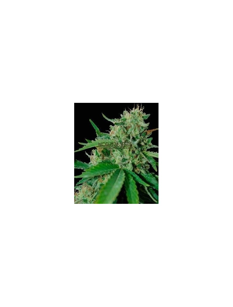 World Of Seeds Brazil Amazonia Reg (10 Semillas)