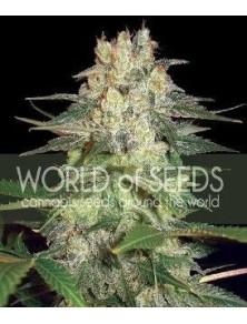 World Of Seeds Afgan Kush Ryder Auto (3 Semillas)