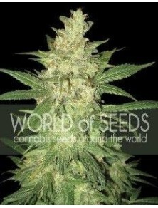 World Of Seeds Sweet Coffee Ryder Auto (3 Semillas)