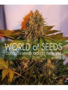 World Of Seeds Northern Light X Big Bud Auto (3 Semillas)