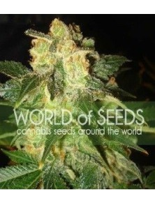 World Of Seeds Pakistan Ryder Auto (12 Semillas)