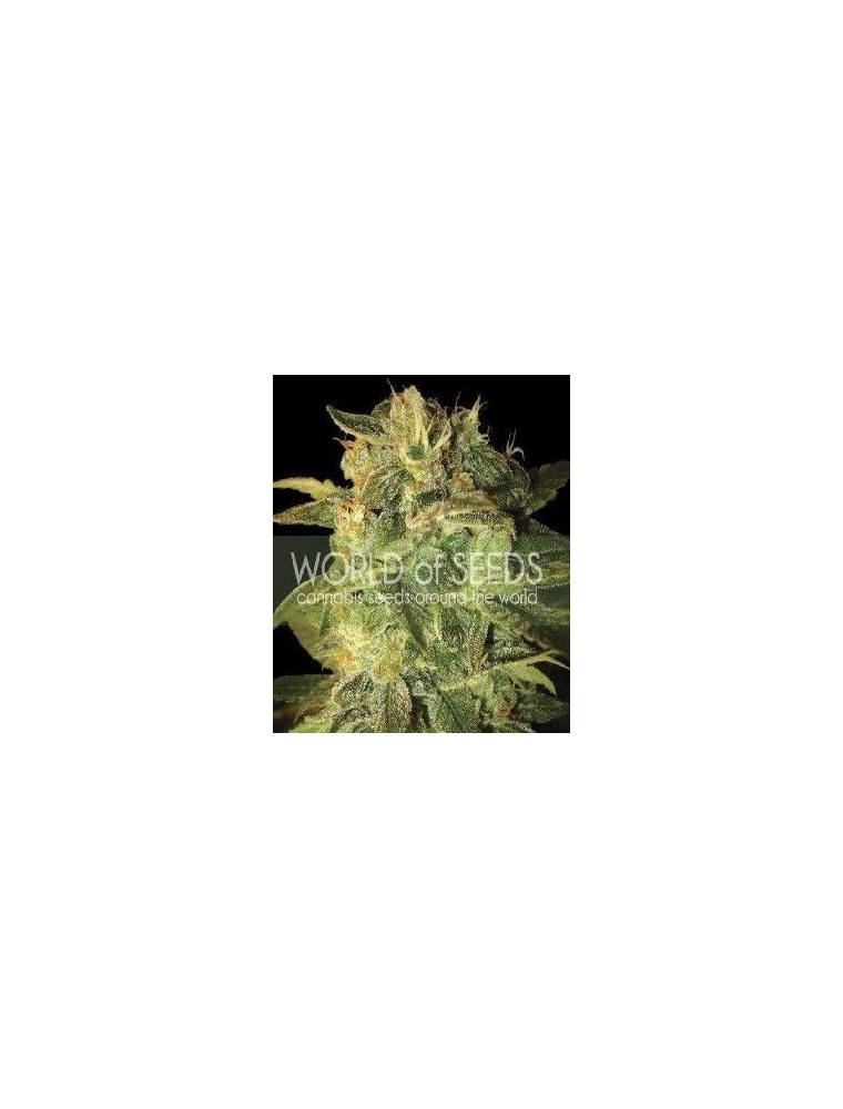 World Of Seeds Sugar Mango Ryder Auto (7 Semillas)