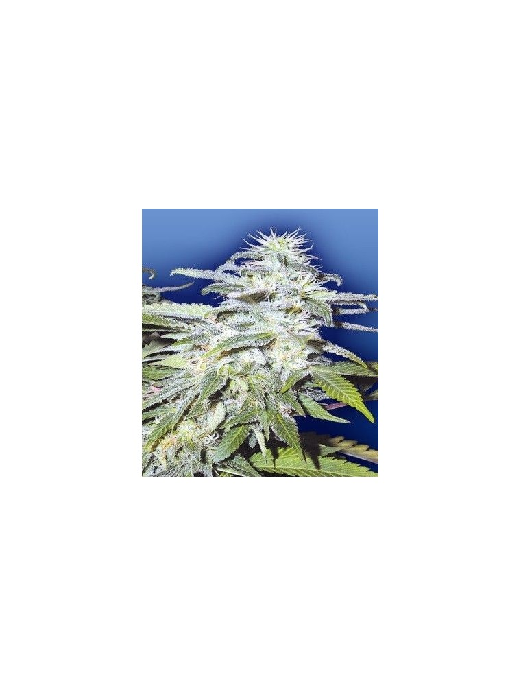 Flying Dutchmen Afghanica Reg (10 Semillas)