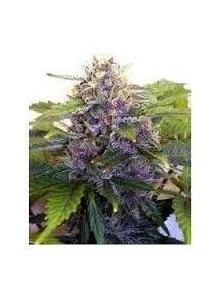 Joint Doctor´s Purple Ryder Reg (10 Semillas)